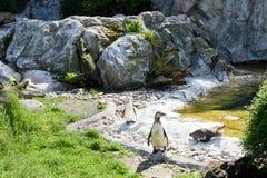 Szczęśliwi pingwinów ptaki ma słońca skąpanie Obrazy Stock