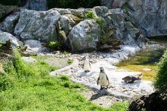 Szczęśliwi pingwinów ptaki ma słońca skąpanie Obraz Stock