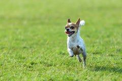 Szczęśliwi psy ma zabawa bieg na polu Chihuahua Zdjęcia Royalty Free