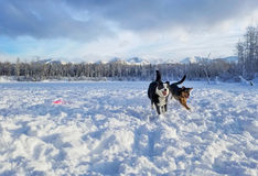 Szczęśliwi psy przy Śnieżnym parkiem w zakotwienie Zdjęcia Royalty Free