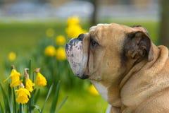 Szczęśliwy śliczny angielski buldoga pies w wiosny polu Fotografia Stock