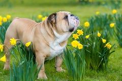 Szczęśliwy śliczny angielski buldoga pies w wiosny polu obraz stock