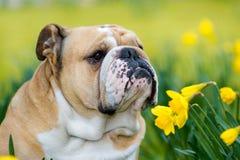 Szczęśliwy śliczny angielski buldoga pies w wiosny polu obrazy stock