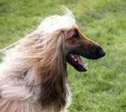 szczęśliwy afgańskiego pies obraz royalty free