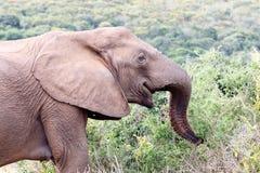 Szczęśliwy afrykanina Bush słoń Obrazy Royalty Free