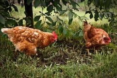 Szczęśliwy, bezpłatny kurczak w ogródzie, obrazy stock