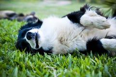 Szczęśliwy Border Collie pies bawić się na trawie Obraz Stock
