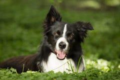 Szczęśliwy Border Collie w trawie Zdjęcie Royalty Free