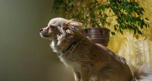 Szczęśliwy chihuahua kieł domowy, rozochocony, szczęście, szczekanie, carnivore, cięcie, szczęśliwie fotografia royalty free