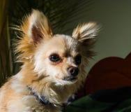 Szczęśliwy chihuahua kieł domowy, rozochocony, szczęście, szczekanie, carnivore, cięcie, szczęśliwie obraz royalty free
