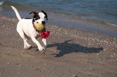 Szczęśliwy czarny i biały pies na plaży fotografia royalty free