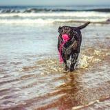 Szczęśliwy Czarny labrador bawić się w morzu Fotografia Royalty Free