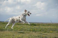 Szczęśliwy Dalmatyński psi bieg w parku Zdjęcia Stock