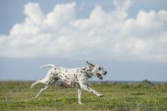 Szczęśliwy Dalmatyński psi bieg w parku Fotografia Stock