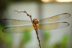 Szczęśliwy dragonfly Obrazy Royalty Free