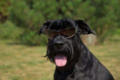 Szczęśliwy Duży Czarny Schnauzer pies zdjęcie royalty free