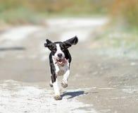 Szczęśliwy działający pies Fotografia Royalty Free