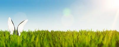 Szczęśliwy Easter tła sztandar z ucho Easter królik w bujny zieleni polu przeciw jasnemu niebu lub królik zdjęcie stock