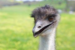Szczęśliwy emu Fotografia Royalty Free