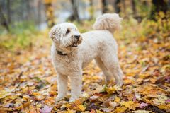 Szczęśliwy goldendoodle pies outside w jesień sezonie obrazy royalty free