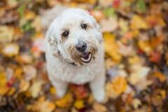 Szczęśliwy goldendoodle pies outside w jesień sezonie obrazy stock
