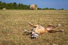 Szczęśliwy Great Dane kołysanie się w trawie przed siano belą Obraz Royalty Free
