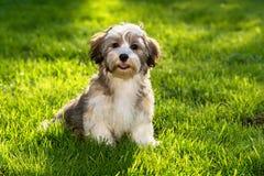 Szczęśliwy havanese szczeniaka pies w trawie zdjęcie stock