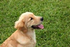 Szczęśliwy i życzliwy golden retriever fotografia stock