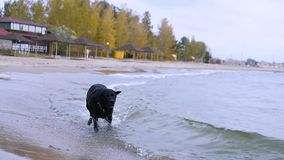 Szczęśliwy i zadawalający czarny pies biega przez wodę na piaskowatej plaży w spadku HD, 1920x1080, zwolnione tempo zbiory