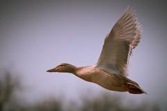 szczęśliwy kaczki latanie obrazy royalty free