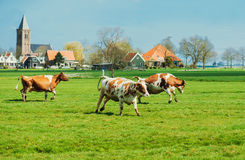 Szczęśliwy krów skakać Zdjęcie Stock