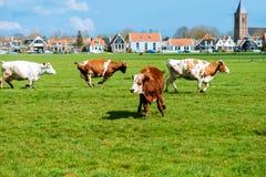 Szczęśliwy krów skakać Fotografia Stock