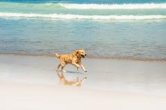 Szczęśliwy labrador bawić się przy plażą Obraz Royalty Free