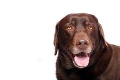 Szczęśliwy labradora aporter Zdjęcie Royalty Free