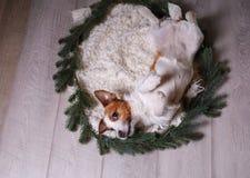 Szczęśliwy nowy rok, boże narodzenia, Jack Russell Terrier wakacje i świętowanie, zwierzę domowe w pokoju Obrazy Stock
