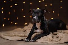 Szczęśliwy nowy rok, boże narodzenia, zwierzę domowe w pokoju Pit bull pies, wakacje i świętowanie, Fotografia Stock
