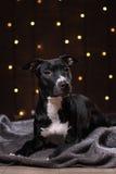 Szczęśliwy nowy rok, boże narodzenia, zwierzę domowe w pokoju Pit bull pies, wakacje i świętowanie, Obraz Royalty Free
