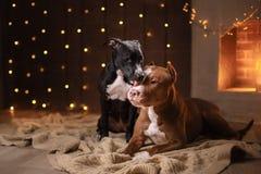 Szczęśliwy nowy rok, boże narodzenia, zwierzę domowe w pokoju Pit bull pies, wakacje i świętowanie, Zdjęcie Stock