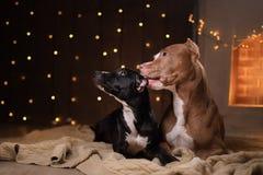 Szczęśliwy nowy rok, boże narodzenia, zwierzę domowe w pokoju Pit bull pies, wakacje i świętowanie, Zdjęcia Stock