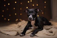 Szczęśliwy nowy rok, boże narodzenia, zwierzę domowe w pokoju Pit bull pies, wakacje i świętowanie, Obrazy Stock