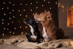 Szczęśliwy nowy rok, boże narodzenia, zwierzę domowe w pokoju Pit bull pies, wakacje i świętowanie, Zdjęcia Royalty Free