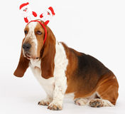 Szczęśliwy nowy rok, Bożenarodzeniowy baset, odizolowywający na bielu Obraz Royalty Free