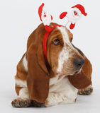 Szczęśliwy nowy rok, Bożenarodzeniowy baset, odizolowywający na bielu Obrazy Royalty Free