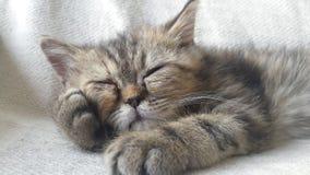 Szczęśliwy Perski kot odpoczywa na kanapie obraz stock
