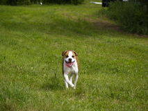 szczęśliwy, pies Fotografia Royalty Free