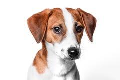 Szczęśliwy pies Odizolowywający Obrazy Royalty Free