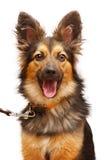 Szczęśliwy pies z jej usta otwartym zdjęcie royalty free