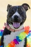 Szczęśliwy pies z kolorowym kłaść Obrazy Stock