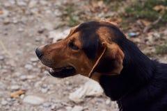 Szczęśliwy pointeru psa bocznego widoku portait, outdoors obrazy royalty free