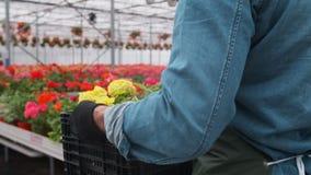 Szczęśliwy Przemysłowy Szklarniany pracownik Niesie pudełka kwiaty Pełno Uśmiechnięty i Szczęśliwy mężczyzna z kwiatami on R zbiory wideo